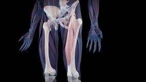 El músculo recto humano femoral