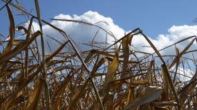El maíz acecha contra el cielo azul y las nubes blancas Foto de archivo libre de regalías