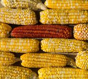 El maíz amarillo y rojo sacude como un fondo coloreado Foto de archivo