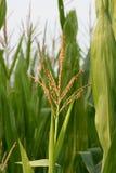 El maíz en los campos acerca a tiempo de cosecha Fotografía de archivo libre de regalías