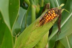 El maíz es putrefacto Imagen de archivo libre de regalías