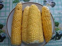 El maíz es una planta herbácea anual alta que alcanza una altura de 3M imagen de archivo libre de regalías