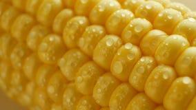 El maíz fresco amarillo maduro en mazorcas con agua cae almacen de video