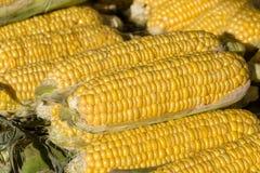 El maíz orgánico, fresco, dulce para la venta en los granjeros locales comercializa, se cierra para arriba Imagen de archivo