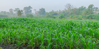 El maíz que crece en la granja imagenes de archivo