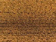 El maíz rema la antena fotografía de archivo
