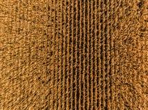 El maíz rema la antena foto de archivo libre de regalías