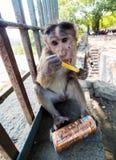 El macaco de la India en las bebidas de la India del touristspuede fotos de archivo libres de regalías
