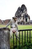 El macaco de la India se sienta en la cerca de carril Fotos de archivo libres de regalías