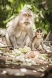 El macague del Balinese monkeys con su bebé en el bosque sagrado del mono imagenes de archivo