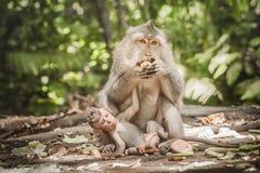 El macague del Balinese monkeys con su bebé en el bosque sagrado del mono foto de archivo
