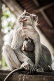 El macague del Balinese monkeys con su bebé en el bosque sagrado del mono imágenes de archivo libres de regalías