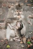 El macague del Balinese monkeys la alimentación de su bebé en las delanteras sagradas del mono fotografía de archivo libre de regalías