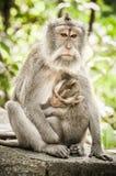 El macague del Balinese monkeys la alimentación de su bebé en las delanteras sagradas del mono fotografía de archivo