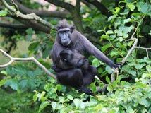 El macaque con cresta de Célebes con los jóvenes Fotografía de archivo