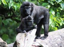 El macaque con cresta de Célebes con los jóvenes Foto de archivo