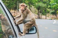 El macaque de la cangrejo-consumición, mono que se sienta en el espejo del lado del ` s del coche imagen de archivo