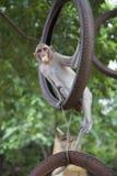 El macaque del macaco de la India balancea en una rueda Fotografía de archivo