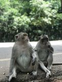 El Macaque en Angkor Wat fotos de archivo