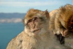 El Macaque imita la preparación en la roca de Gibraltar Imágenes de archivo libres de regalías