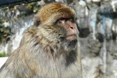 El Macaque imita la preparación en la roca de Gibraltar Foto de archivo libre de regalías