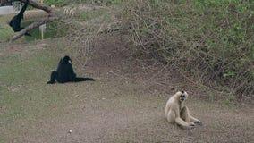 El macaque negro divertido salta en tronco de árbol por el pequeño lago verde almacen de metraje de vídeo