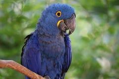 El macaw azul del jacinto imágenes de archivo libres de regalías
