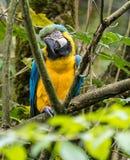 El Macaw Azul-y-amarillo, ararauna del Ara es un loro suramericano grande imagen de archivo