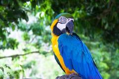El Macaw colorido relaja la acción contra fondo natural Fotos de archivo