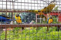El macaw de tres loros se sienta en un polo y vuela y mira el primero plano Foto de archivo