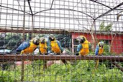 El macaw de varios loros se sienta en un polo y atento mira el primero plano Fotos de archivo libres de regalías