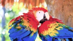 El macaw del Ara del Macaw del escarlata, tambi?n conocido como el macaw rojo y verde que se sienta en una pluma de la rama y de  almacen de metraje de vídeo