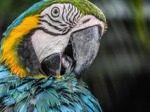 El Macaw hermoso de la selva de Tailandia Foto de archivo libre de regalías