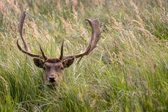 El macho/el ciervo de Stearing miente en la hierba Imágenes de archivo libres de regalías