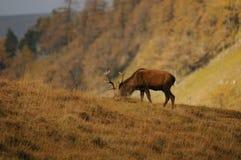 El macho de los ciervos comunes forrajea para la comida en montañas de Escocia Imagenes de archivo