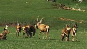 El macho y hace en una granja de los ciervos almacen de metraje de vídeo