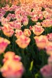El macizo de flores con los tulipanes rosado-blancos Fotografía de archivo