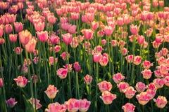 El macizo de flores con los tulipanes rosados encendido en troncos largos en la luz del sol Fotografía de archivo libre de regalías