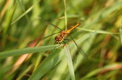 El macrophoto de una libélula en una hierba Foto de archivo