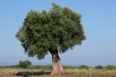 el Madrid molarnej noc oliwny sceny drzewo Zdjęcie Royalty Free