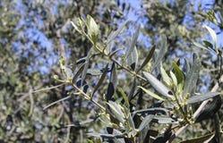 el Madrid molarnej noc oliwny sceny drzewo Obraz Royalty Free