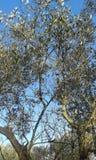 el Madrid molarnej noc oliwny sceny drzewo zdjęcie stock