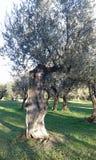 el Madrid molarnej noc oliwny sceny drzewo obraz stock
