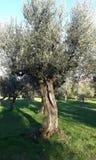 el Madrid molarnej noc oliwny sceny drzewo zdjęcia royalty free