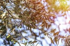 el Madrid molarnej noc oliwny sceny drzewo Oliwki na drzewo oliwne gałąź Obraz Royalty Free