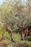 el Madrid molarnej noc oliwny sceny drzewo Oliwki na drzewo oliwne gałąź Obrazy Royalty Free