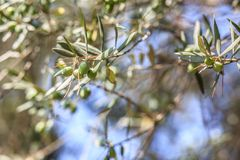 el Madrid molarnej noc oliwny sceny drzewo Oliwki na drzewo oliwne gałąź Zdjęcie Royalty Free