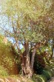 el Madrid molarnej noc oliwny sceny drzewo Oliwki na drzewo oliwne gałąź Fotografia Royalty Free