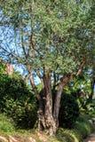 el Madrid molarnej noc oliwny sceny drzewo Oliwki na drzewo oliwne gałąź Fotografia Stock