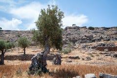 el Madrid molarnej noc oliwny sceny drzewo Drzewo oliwne dziki gaj na wyspie Rhodes, Grecja europejczycy obrazy stock